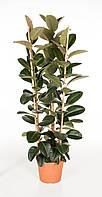 Фикус эластика Робуста -- Ficus elastica Robusta  P35/H170