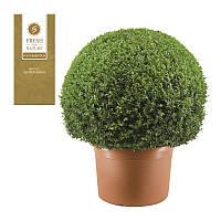 Самшит вечнозеленый -- Buxus sempervirens  P50/H110