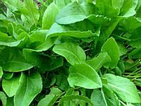 Семена многолетнего зеленого щавеля широколистного для приготовления блюд и применения в медицине