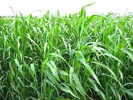Суданка суданская трава семена от 30 кг