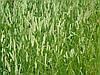 Тимофеевка луговая семена 40кг