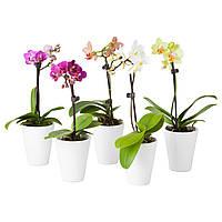 PHALAENOPSIS Растение с doniczką, Орхидея, разные цвета