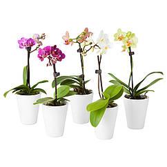 PHALAENOPSIS Растение с doniczką, Орхидея, разные цвета 202.601.05