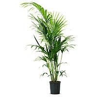 HOWEA FORSTERIANA Комнатное растение, Пальма Kentia