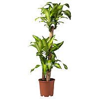 DRACAENA MASSANGEANA Растение в горшке, Драцена душистая, 3 стебля