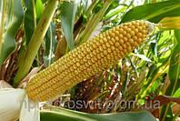 Семена кукурузы Mas 36.A/ Мас 36.А
