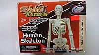 """Игрушка-конструктор """"Скелет Человека"""", в коробке Science Time.Трехмерная головоломка-конструктор """"Human Skelet"""