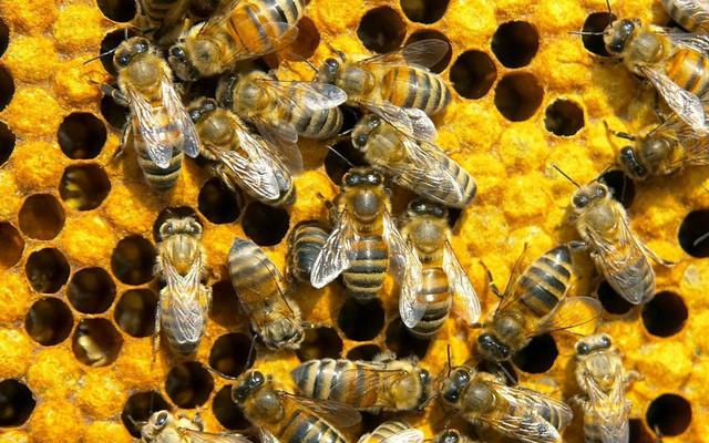 Пчелопакеты Карпатки. Пчелопакеты Карники