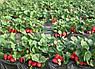 Агроволокно чорне Premium-Agro P-50 г/м2 1.05х100м, фото 2