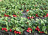Агроволокно чёрное Premium-Agro P-50 г/м2 1.05х100м, фото 2