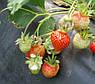 Агроволокно чорне Premium-Agro P-50 г/м2 1.05х100м, фото 4