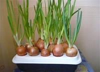 Установка для выращивания зеленого лука «Чудорост» - собственная зеленая грядка на подоконнике!