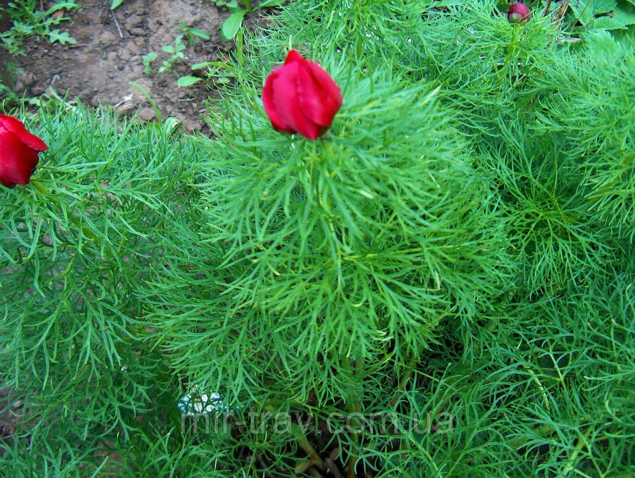 Пион уклоняющийся-марьин корень