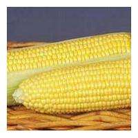 GSS 8529 F1 - семена кукурузы суперсладкой, 100 000 семян, Syngenta.