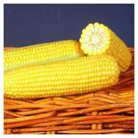 GSS 1453 F1 - семена кукурузы суперсладкой, 100 000 семян, Syngenta