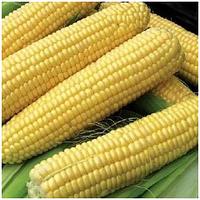 СВИТСТАР F1 - семена кукурузы суперсладкой, 100 000 семян, Syngenta, фото 1