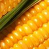 Кукуруза Да Сонка (ФАО 350)