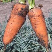 Семена моркови Шантане (Clause) 0,5 кг - среднепоздняя сортовая (110-120 дней), тип Шантане, фото 2