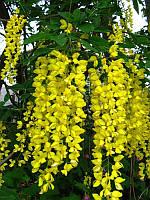 Семена Бобовник или Глициния желтая