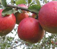 Саженцы яблони Джонаголд