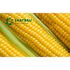 Кукуруза Правор (ФАО 250)