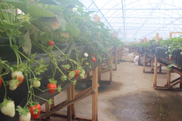 выращивание клубники в фермерских теплицах