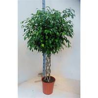 Крупномеры Ficus Be Exotica Cilinder, 32, Фикус, 150