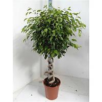 Крупномеры Ficus Be Exotica Duo Spiral, 30, Фикус, 150