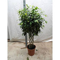 Крупномеры Ficus Be Exotica Flat Twisted, 30, Фикус, 150