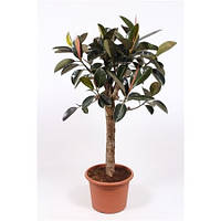 Крупномеры Ficus Burgundy On Stem (fachjan), 40, Фикус, 150