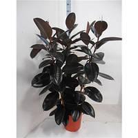 Крупномеры Ficus El Abidjan 3pp, 35, Фикус, 150