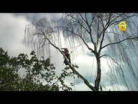 Санитарная обрезка, частичное кронирование дерева (диаметр указано на высоте 1 метра от земли)