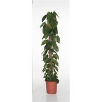 Крупномеры Philodendron Scandens Mosspole, 27, Филодендрон, 150