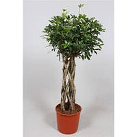Крупномеры Schefflera Compacta Twisted On Stem, 34, Шеффлера, 150