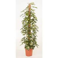 Крупномеры Schefflera Gold Capella Mosspole, 27, Шеффлера, 150