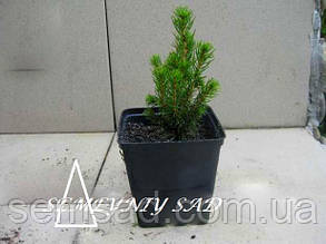 Ель коника Дейзи Вайт \ Picea glauca Daisy White ( р12) саженцы, фото 2