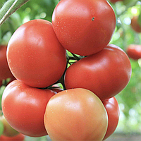 АГИЛИС F1 - семена томата, Enza Zaden