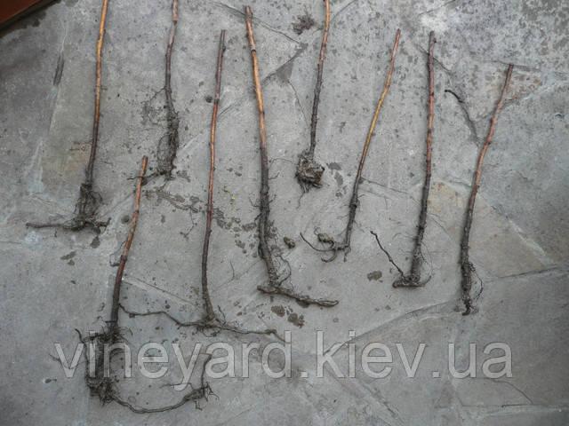 Корни малины у перекупщиков из Польши