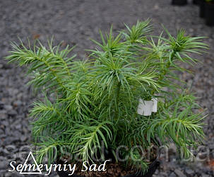 "Ель ""Куннингамия ланцетовидная"" \Cunninghamia lanceolata  ( саженцы р9 л), фото 2"