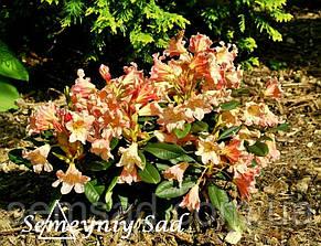 """Рододендрон """" Лачсголд """" ( саженцы 2 года ЗКС ) (Rhododendron Lachsgold), фото 2"""