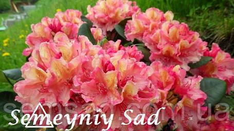 """Рододендрон """" Бразилия """" ( саженцы 2 года ЗКС ) Rhododendron Brasillia, фото 2"""