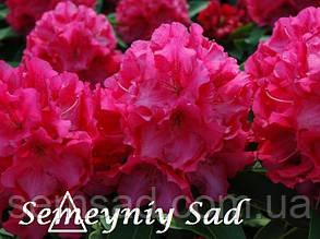 "Рододендрон "" Казимир Великий "" ( саженцы 2 года ЗКС ) Rhododendron Kazimierz Wielki, фото 2"