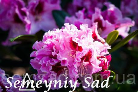 """Рододендрон """" Королева Ядвига """" ( саженцы  3  года ЗКС ) Rhododendron Krolowa Jadwiga, фото 2"""
