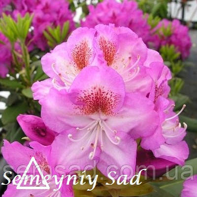 """Рододендрон """" Казимир Одновичел """" ( саженцы 2 года ЗКС )  Rhododendron Kazimierz Odnowiciel, фото 2"""