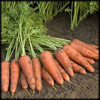 КУПАР F1 - семена моркови Шантане (2,0-2,2 мм),1 000 000 семян, Bejo Zaden