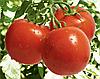 СИЛЬВИАНА F1 - семена томата индетерминантного, 500 семян, Enza Zaden
