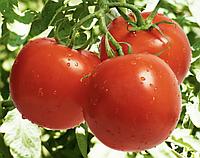 СИЛЬВИАНА F1 - семена томата индетерминантного, 500 семян, Enza Zaden, фото 1