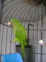 Продаём птенцов попугая Аратинги (выкормыши) Поднимают настроение моментально!
