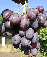 Саженцы винограда Низина (корнесобственные)