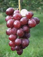 Саженцы винограда Лада - Т (корнесобственные)